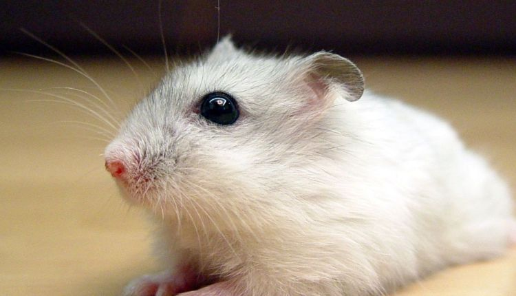 Winter White Russian Hamster