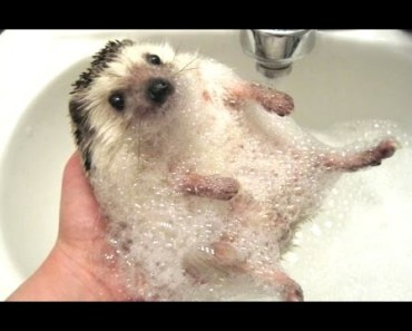 Cute And Funny Hedgehog Videos Compilation 2014 [NEW] - cute and funny hedgehog videos compilation 2014 new