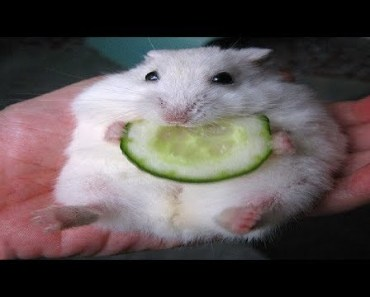 Funniest Hamsters Of All Time - Funny Hamster Videos Compilation 2018 - funniest hamsters of all time funny hamster videos compilation 2018