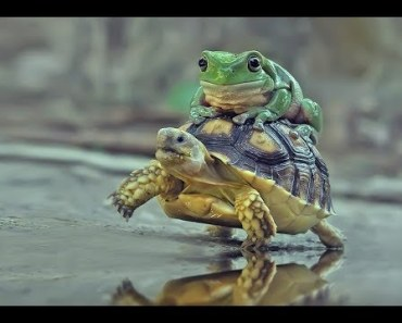 Funny Animals Riding A Turtle / Tortoise - Cutest Animal Videos Compilation 2018 [BEST OF] - funny animals riding a turtle tortoise cutest animal videos compilation 2018 best of