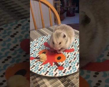 funny hamster pancake video - funny hamster pancake video