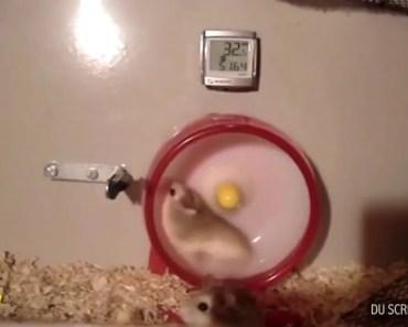 Funny hamsters on wheels - funny hamsters on wheels