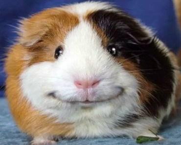 Guinea Pigs - A Cute and Funny Guinea Pig Videos Compilation [NEW] - guinea pigs a cute and funny guinea pig videos compilation new