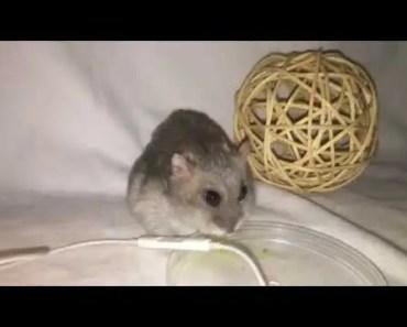 Hamster ASMR part 2! - hamster asmr part 2