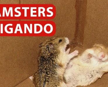 Hamster Brigando - hamster brigando