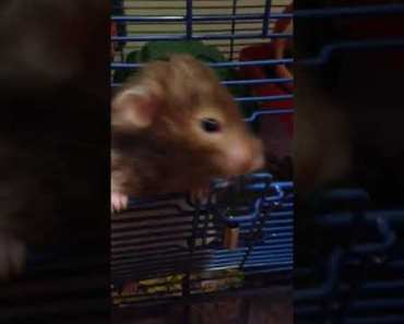 Hamster funny pucca - hamster funny pucca