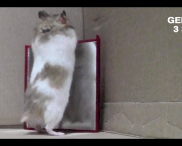 Hamster playing in the mirror - hamster playing in the mirror