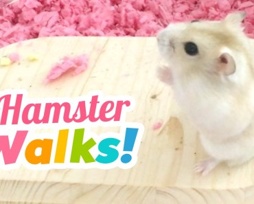Hamster Walks on Two Feet!! - hamster walks on two feet
