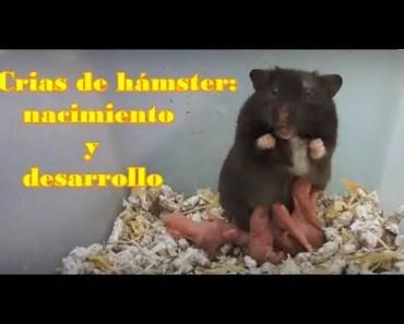 HÁMSTERS - El crecimiento y el desarrollo de las crías de hámsters - hamsters el crecimiento y el desarrollo de las crias de hamsters