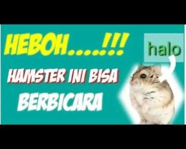 HEBOH......!!! Hamster ini bisa berbicara kayak manusia - heboh hamster ini bisa berbicara kayak manusia