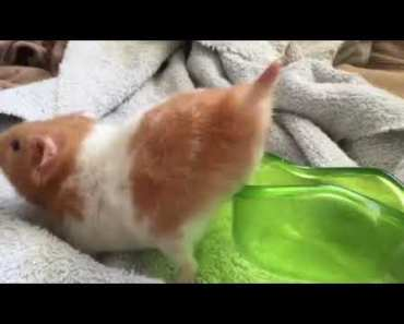 Just a hamster funny video - just a hamster funny video