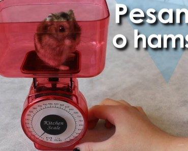 Pesando minha hamster! - Vlog - pesando minha hamster vlog