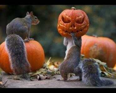 Squirrels vs Pumpkins - Funny Animal Videos Compilation 2018 [BEST OF] - squirrels vs pumpkins funny animal videos compilation 2018 best of