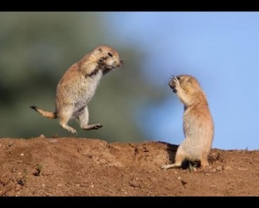 Top Funny Prairie Dogs Videos Compilation 2017 [BEST OF] - top funny prairie dogs videos compilation 2017 best of