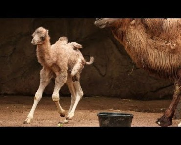 Baby Camels - Cute And Funny Baby Camel Videos Compilation 2018 [BEST OF] - baby camels cute and funny baby camel videos compilation 2018 best of