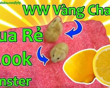 Cặp Hamster Winter White Vàng Chanh Cực Dễ Thương Của Lỳ - cap hamster winter white vang chanh cuc de thuong cua ly