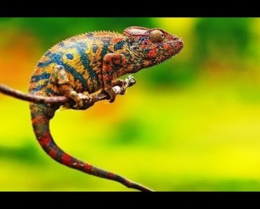Chameleon Changing Colors - Cutest Animal Videos Compilation 2018 [BEST OF] - chameleon changing colors cutest animal videos compilation 2018 best of