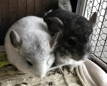 Chinchilla funny playing. Chinchilla cute and fynny videos. Animals funny video - chinchilla funny playing chinchilla cute and fynny videos animals funny video