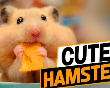 Cute Hamsters Doing Funny Things Compilation 2018 - cute hamsters doing funny things compilation 2018