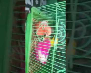 Engish hen play at home funny video - engish hen play at home funny video