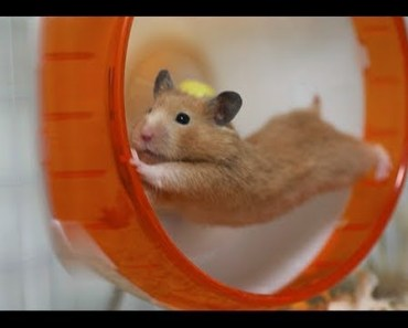 Funny hamsters in wheel videos - Cute funniest hamsters wheels compilation 2018 - YouTube - funny hamsters in wheel videos cute funniest hamsters wheels compilation 2018 youtube