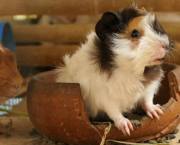 Guinea Pigs Meeting - Funny And Cute Hamster - guinea pigs meeting funny and cute hamster