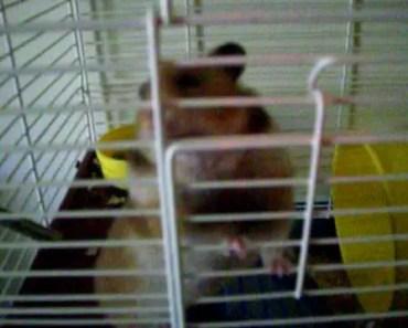 hamster doing FUNNY RANDOM THINGS - hamster doing funny random things