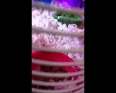 Hamster weird noise 2 - hamster weird noise 2
