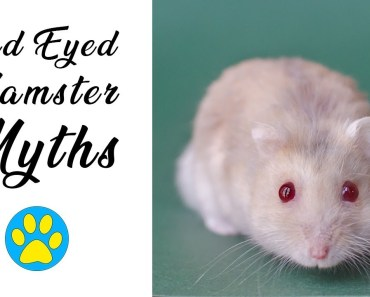 Red Eyed Hamsters | Myths & Misconceptions Debunked! - red eyed hamsters myths misconceptions debunked