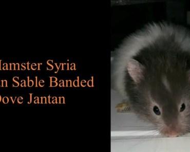 Sable Syrian Hamster - sable syrian hamster