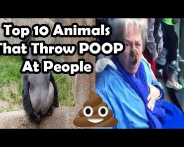 Top 10 animals throwing poop at people (MONKEY THROWS POOP AT GRANDMA) poo throwing monkeys - top 10 animals throwing poop at people monkey throws poop at grandma poo throwing monkeys