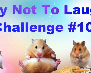 Try Not To Laugh Challenge #10 Hamsters - try not to laugh challenge 10 hamsters