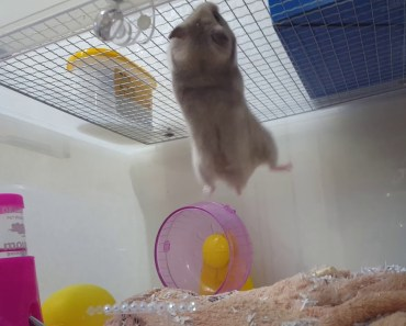 Wow! Spiderman hamster!! Super strong and smart!! Funny, crazy!! - wow spiderman hamster super strong and smart funny crazy