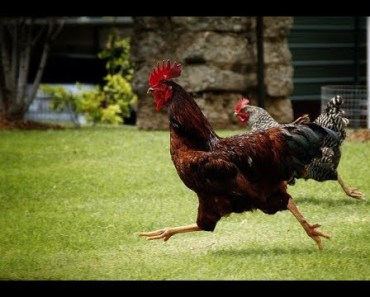 Chickens Running In SLOW MOTION (Roosters, Hens, Chicks) - Funny Animal Videos Compilation 2018 - chickens running in slow motion roosters hens chicks funny animal videos compilation 2018