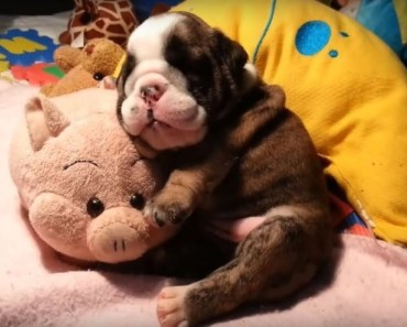 Cute And Funny Snoring Puppies Compilation! - cute and funny snoring puppies compilation