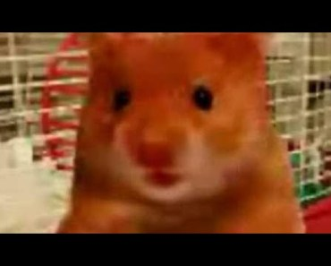 Cute Hamster Doing Funny Things   Funny Hamster Compilation # 1 - cute hamster doing funny things funny hamster compilation 1