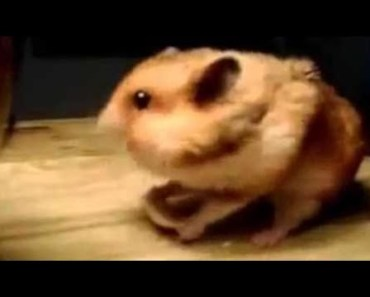 Cute Hamster Doing Funny Things | Funny Hamster Compilation # 24 - cute hamster doing funny things funny hamster compilation 24
