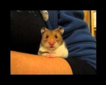Cute Hamster Doing Funny Things | Funny Hamster Compilation # 27 - cute hamster doing funny things funny hamster compilation 27