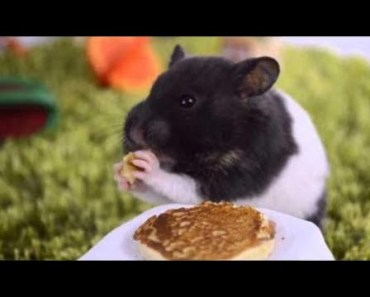 Cute Hamster Doing Funny Things | Funny Hamster Compilation # 42 - cute hamster doing funny things funny hamster compilation 42