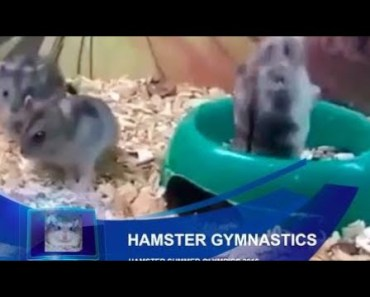 Cute Hamster Doing Funny Things   Funny Hamster Compilation # 56 - cute hamster doing funny things funny hamster compilation 56