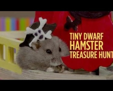 Cute Hamster Doing Funny Things | Funny Hamster Compilation # 57 - cute hamster doing funny things funny hamster compilation 57