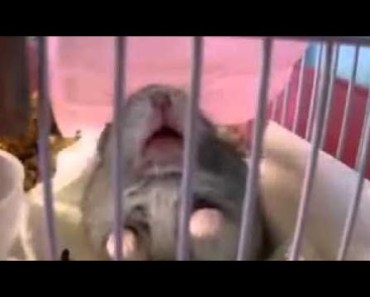 Cute Hamster Doing Funny Things | Funny Hamster Compilation # 6 - cute hamster doing funny things funny hamster compilation 6