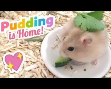 Cute Hamster Doing Funny Things | Funny Hamster Compilation # 64 - cute hamster doing funny things funny hamster compilation 64