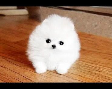 Cute Pomeranian Puppies Big Compilation #1 | Cute and Funny Animals - cute pomeranian puppies big compilation 1 cute and funny animals
