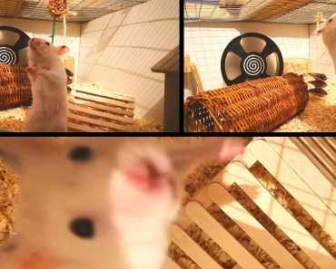 Cute Syrian Hamster Trying To Get His Treat | Mercury - cute syrian hamster trying to get his treat mercury