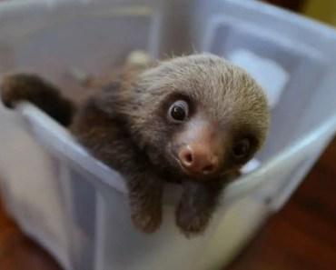 Cutest Baby Sloth EVER! - cutest baby sloth ever