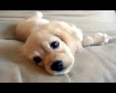 Cutest Cocker Spaniel Puppies Compilation! - cutest cocker spaniel puppies compilation
