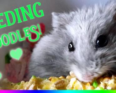 Feeding Hamster Fun | Funny Hamster Feeding | by Jo Sunshine - feeding hamster fun funny hamster feeding by jo sunshine
