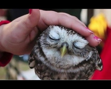 Funny And Cute Owls Love Cuddling Videos Compilation 2017 - funny and cute owls love cuddling videos compilation 2017