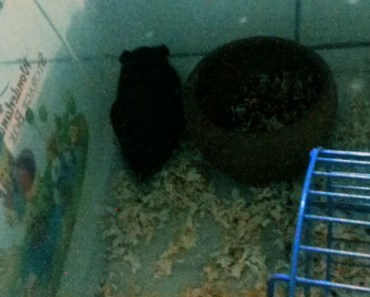 Funny my new Syrian hamster name (Blackie) - funny my new syrian hamster name blackie
